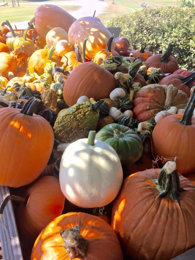 pumpkins-at-bull-bottom-farms