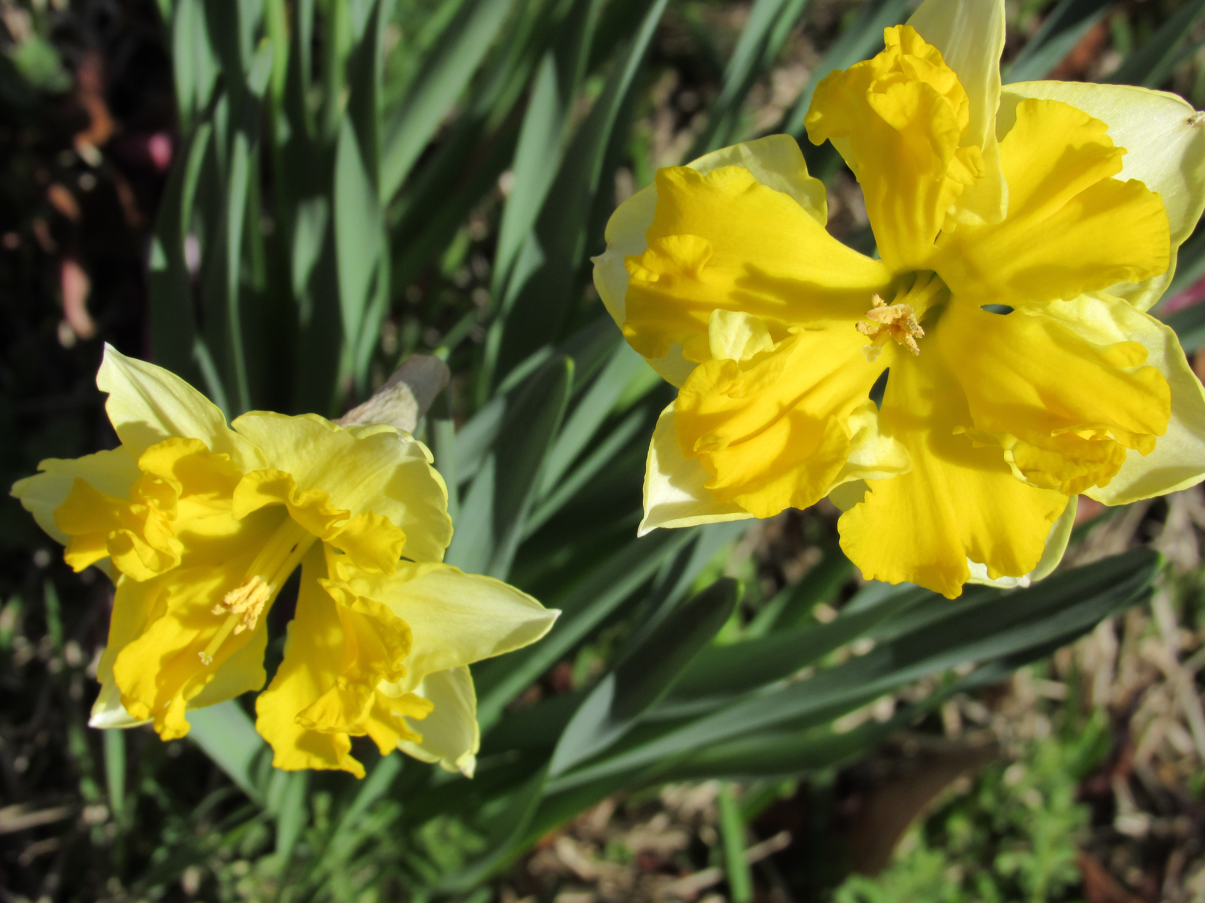 Gardengoals Snooky Lees Daffodils Gwen Sisson